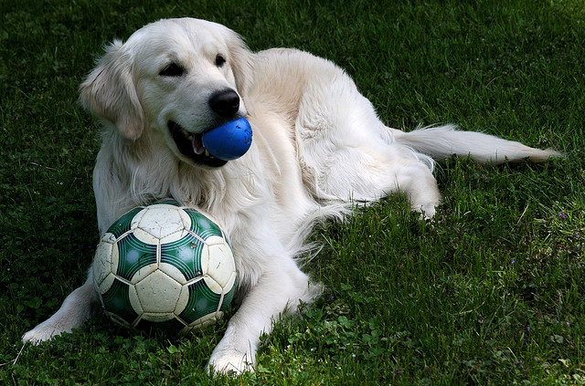 dog with soccer ball and rubber ball